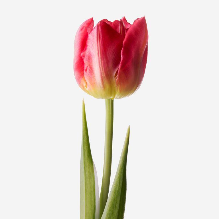Fandango Double Tulip