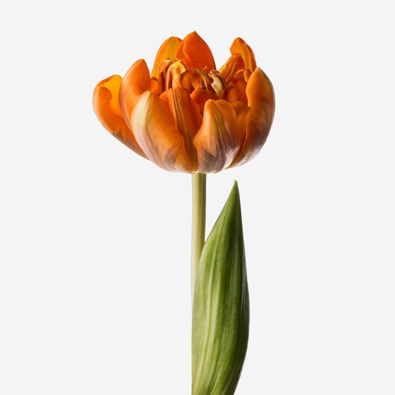 Palomino Double Tulip