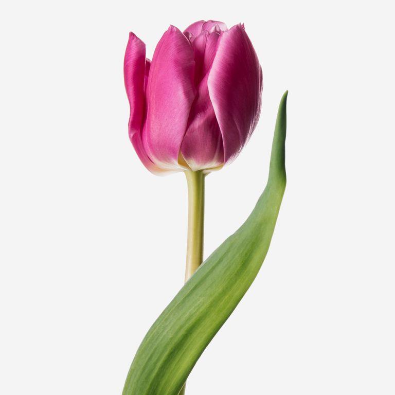 Tart Double Tulip