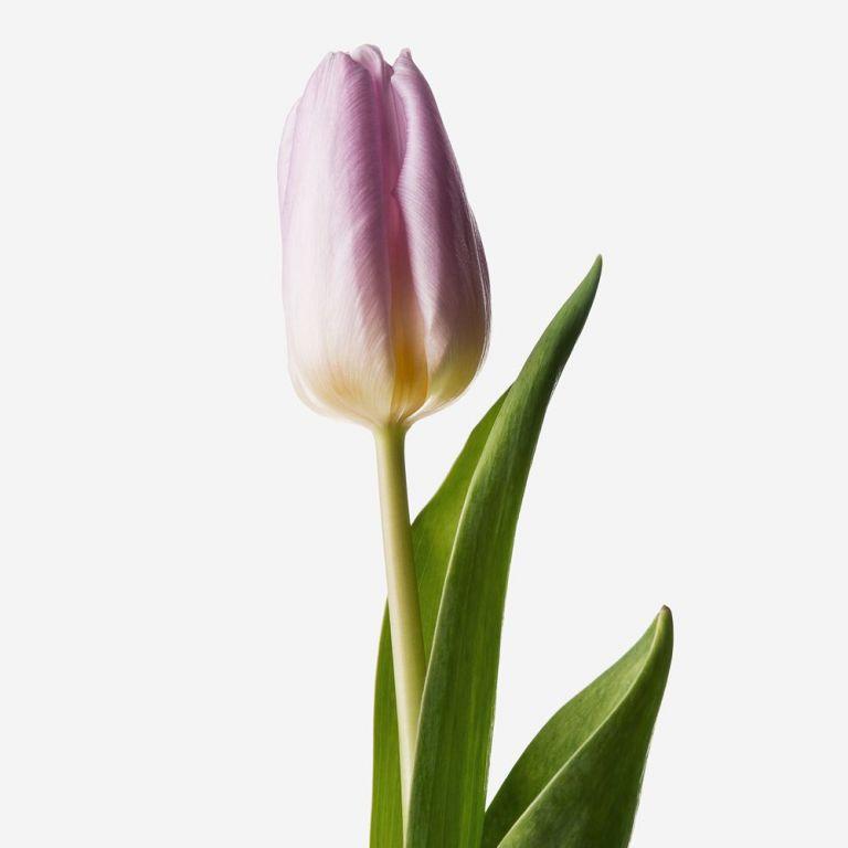 Monarchy Mauve British Tulip