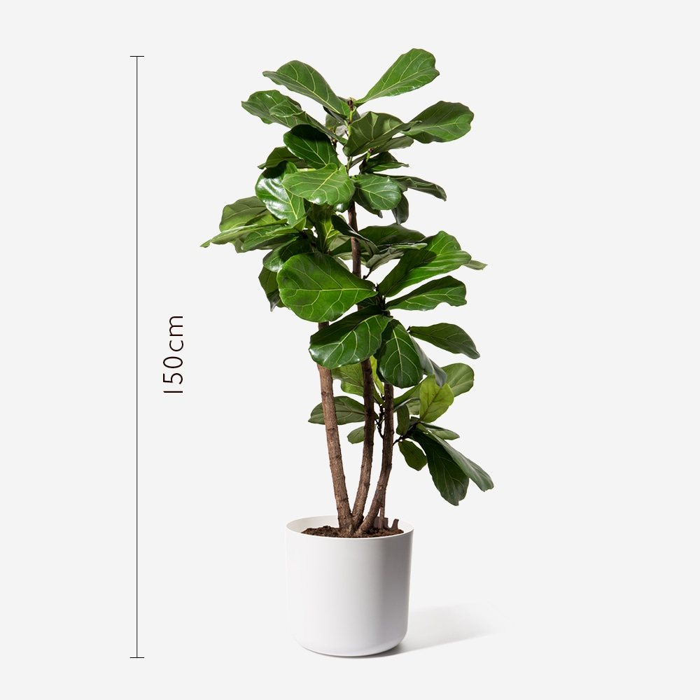 fiddle leaf fig tall indoor plants plants flowerbx. Black Bedroom Furniture Sets. Home Design Ideas