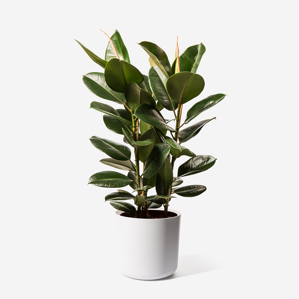 Forest Rubber Plant
