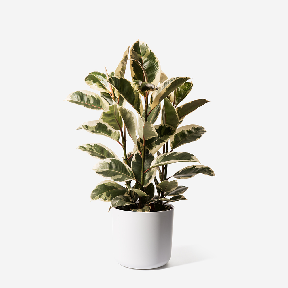 Camouflage Rubber Plant